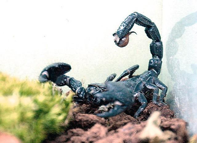 Skorpiony muszą opuścić nasze domy