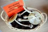 Uwaga na grzyby! Rośnie liczba osób zatrutych muchomorem sromotnikowym