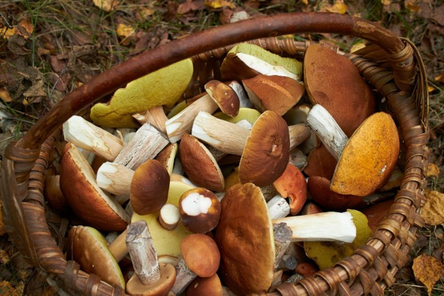 Grzyby to nie tylko smaczny składnik dań, bo również niezwykle cenny składnik diety.   Właściwości grzybów obejmują m.in. działanie stymulujące odporność organizmu, obniżające poziom glukozy i cholesterolu we krwi, a nawet przeciwbólowe i chroniące wątrobę!   Sprawdź, jakie korzyści zapewnia jedzenie 15 gatunków grzybów, zarówno leśnych, jak i hodowlanych!   Zobacz kolejne slajdy, przesuwając zdjęcia w prawo, naciśnij strzałkę lub przycisk NASTĘPNE.