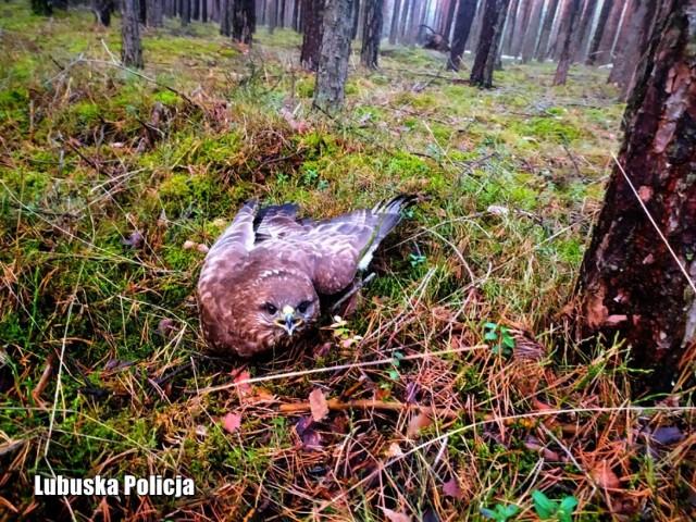 Pierwszy dzień kalendarzowej wiosny przyniósł niecodzienną interwencję w okolicach Gubina. Miejscowi policjanci i leśnicy interweniowali, aby pomóc... rannemu jastrzębiowi.