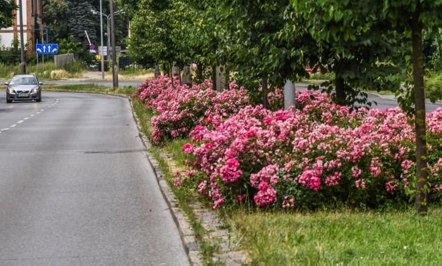 Ulica Sułkowskiego - tonąca w różowych kwiatach