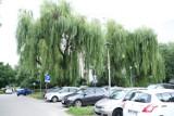 Warszawa. Wycinka drzew na Ursynowie? Zdaniem spółdzielni stanowią zagrożenie. Mieszkańcy i społecznicy uważają inaczej