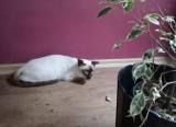 Kilkadziesiąt kotów syjamskich w małym mieszkaniu w Opolu. Właścicielka pseudohodowli usłyszała zarzut