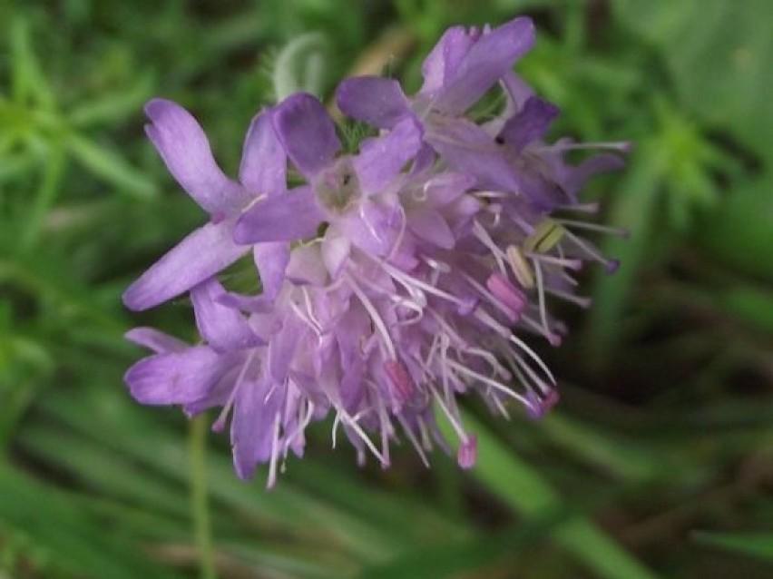 Kwiaty Dziko Rosnace Kwiaty Polne Ktore Spotkasz Na Przydroznych Rowach Lakach Polach Lasach Fotogaleria Zbaszyn Nasze Miasto