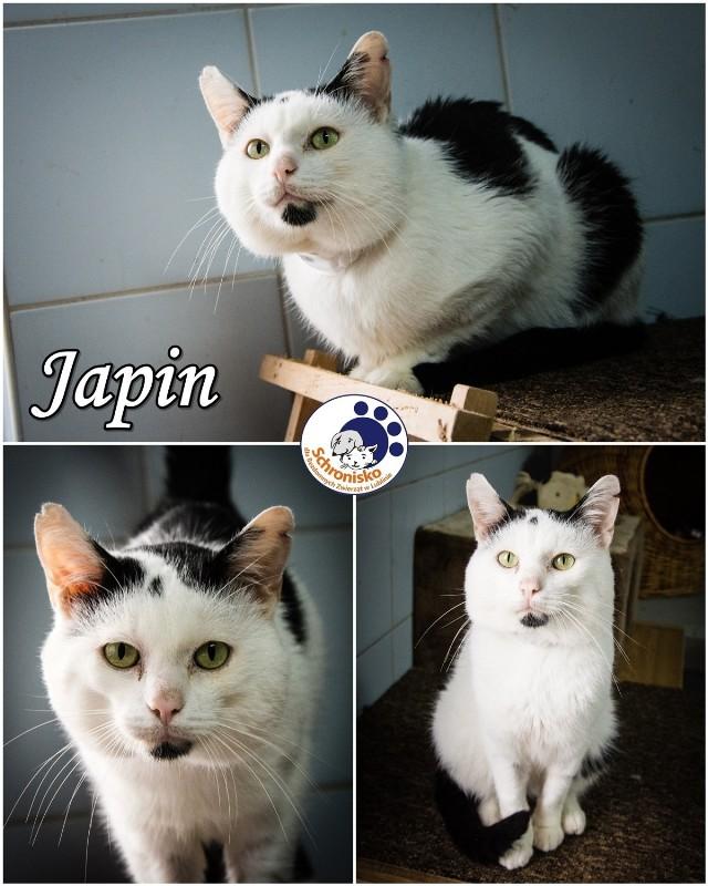 JAPIN  Rasa: kot europejski Płeć: samiec-kastrat Rok urodzenia: 2010 Data przyjęcia: 09,09.2016 Nr ewidencyjny: 011601002