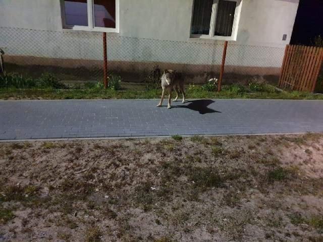 Wilki zostały zauważone w pobliżu Gubina i przy okolicznych wioskach.