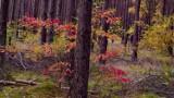 Tak wygląda jesienią las w Osieku Wielkim koło Inowrocławia