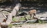 Narodziny żubra w Wolińskim Parku Narodowym. Nie ma jeszcze imienia. Jakieś propozycje?