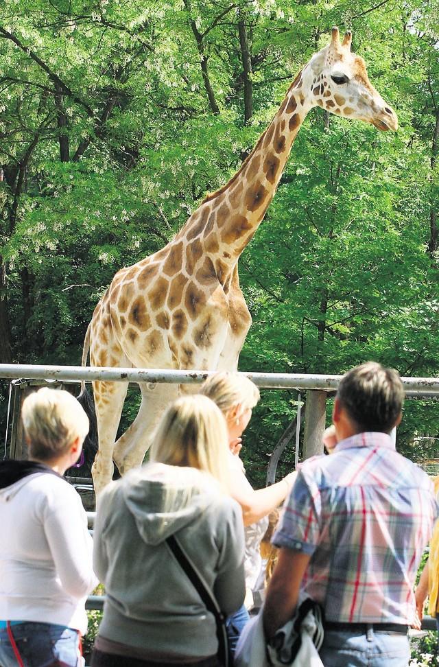 Do zoo w Łodzi przyjadą nowe żyrafy