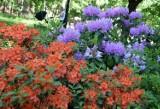 Inowrocław. W solankowych Ogrodach Zapachów pięknie kwitną rododendrony. Niedługo dołączą do nich róże i piwonie. Zdjęcia