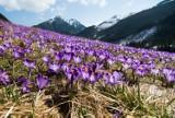 Krokusy w Tatrach. Zobacz kwietny spektakl sprzed lat [ZDJĘCIA]