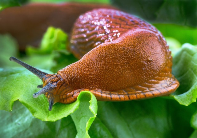 Są rośliny, za którymi ślimaki nie przepadają, dlaczego warto umieścić je na rabatach --->