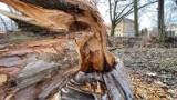 Bobry pojawiły się w Gorzowie. Tną drzewa na potęgę!