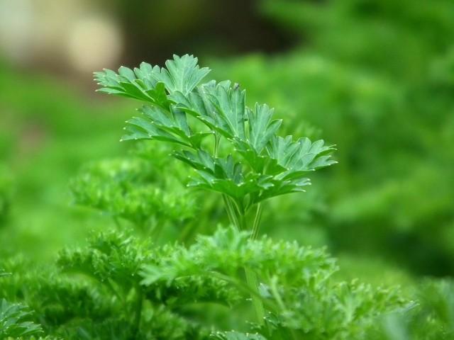 Jeśli na ogród jest zacieniony, to nie znaczy, że musimy rezygnować z uprawy warzyw i ziół.