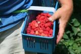 Rolnicy zapraszają na samodzielny zbiór owoców i warzyw. Kilogram malin za 7 zł, borówki za 10 zł, a wiśni za 2 zł. Gdzie się wybrać?