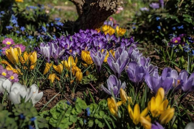 Zobaczcie, jakie kwiaty mogą ozdobić ogrody bardzo wczesną wiosną. Oto 15 gatunków, które warto mieć w ogrodzie.