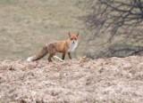Fotowycieczka z lisem i rudlem saren koło Przemyśla [ZDJĘCIA INTERNAUTKI]
