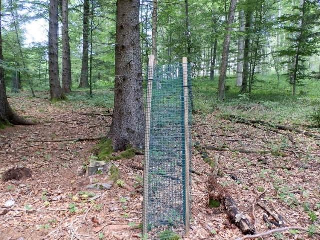 Zdjęcie przedstawia małą sosenkę zasadzoną przez leśników w ramach zalesiania i ogrodzoną przed dziką zwierzyną siatką. W lesie co rusz widać takie obrazki. Fot. Halina Krüsch Czopowik
