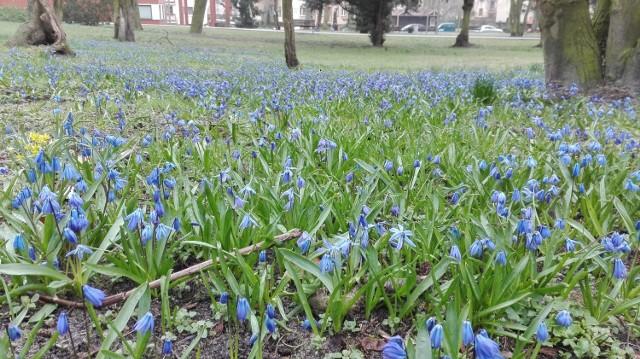 Kwiaty w parku Chopina w Świnoujściu cieszą oko. Co roku wiosną drobne kwiaty tworzą kolorowy, wiosenny dywan.