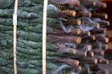 Świąteczna choinka prosto z lasu! Nadleśnictwa sprzedają drzewka ze swoich plantacji