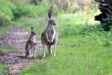 Wyjątkowe maluchy z łódzkiego ZOO. Urodziły się kangur, kudu i panda, wykluły się dzioborożce i kazuar ZDJĘCIA