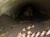 Strażacy ratowali szczeniaka uwięzionego w rurze kanalizacyjnej! ZDJĘCIA