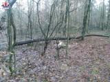 Gmina Abramów. Wypadek przy wycince drzew. Mężczyzna został przetransportowany śmigłowcem do szpitala