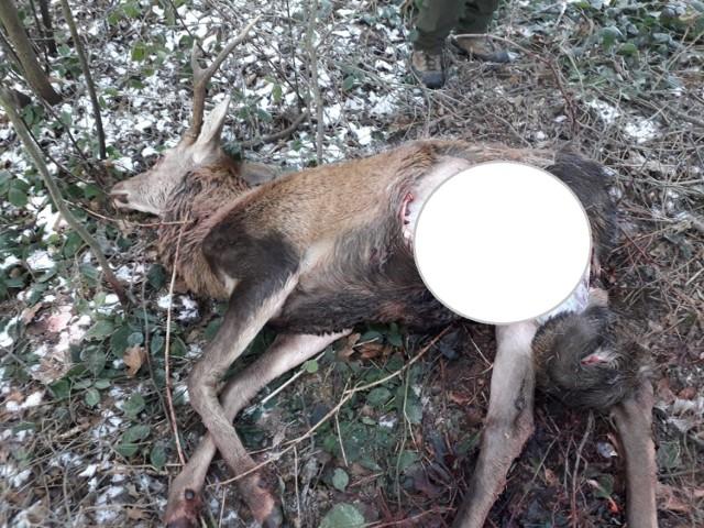 Myśliwi udostępnili nam tylko dwa, jak twierdzą, najmniej drastyczne, zdjęcia, dokumentujące wtorkowy atak drapieżników na zwierzynę leśną