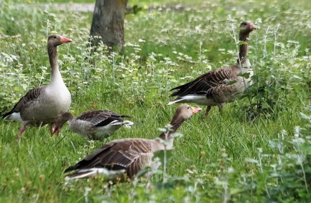 Podczas spaceru nad Gopłem spotkamy teraz wiele dzikich ptaków na czele z całymi rodzinami gęsi