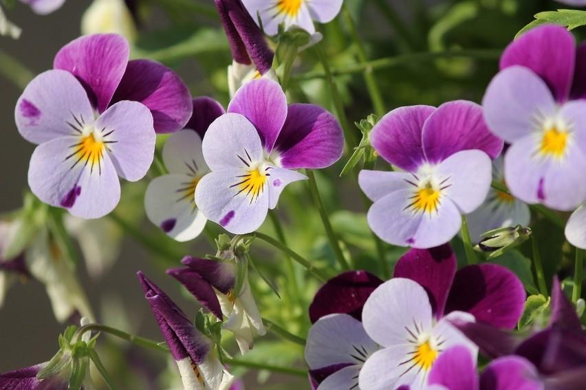 """Te kwiaty bywają nazywane """"miniaturowymi bratkami"""" i tak..."""