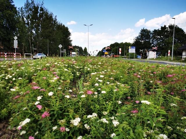 Jak dotąd najlepiej wyglądają łąki kwietne, które rosną spontanicznie. Jak zapowiedział w poniedziałek prezydent Zaleski, będą rosły tak długo, aż przekwitną. Wtedy zostaną skoszone, a rośliny trafią na kompost