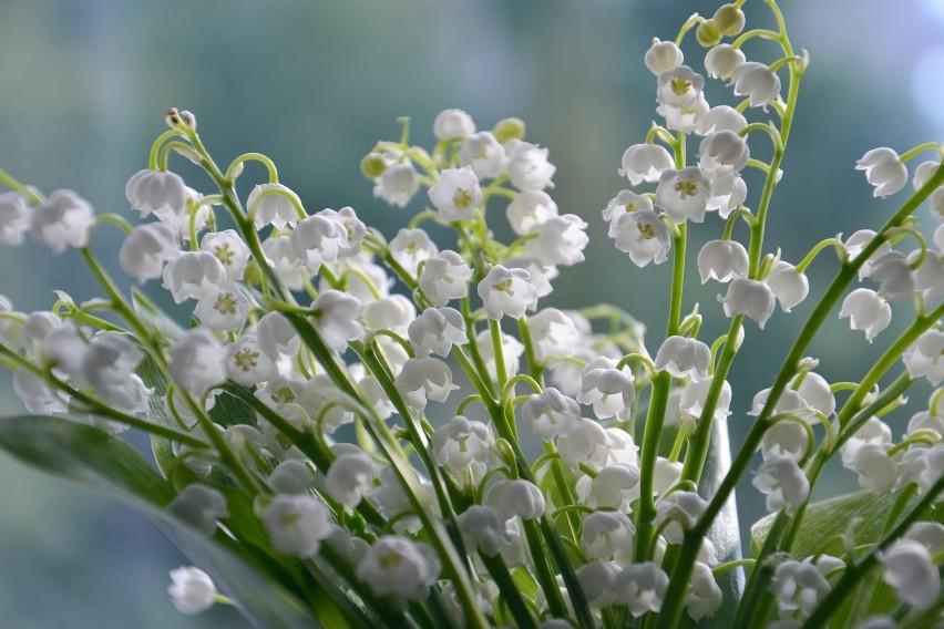 Niewielkie, ale bardzo wdzięczne kwiaty. Podobnie jak bzy,...
