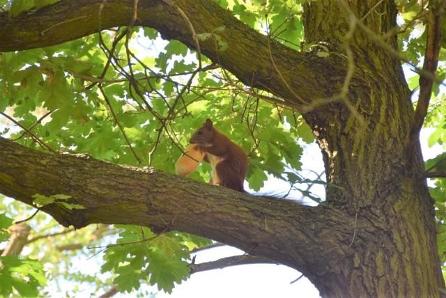 Wiewiórka w Parku Braniborskim w Zielonej Górze zajada się hot dogiem