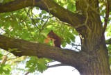W Zielonej Górze wiewiórka zajadała się nie orzechami czy żołędziami, a hot dogiem. Zobaczcie film