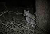 Rysie marcują w lasach w naszym regionie. Są leniwe, ale dalej niebezpieczne. WIDEO