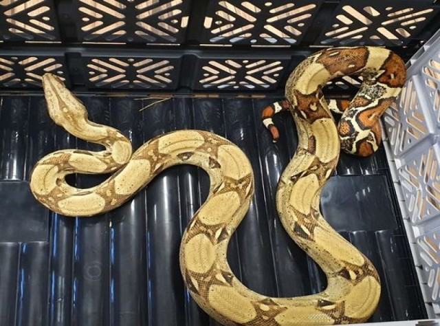 Węża znaleziono w powiecie górowskim, kilkadziesiąt kilometrów od Głogowa