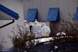 Pod Gorlicami zutylizowano ponad siedem tysięcy indyków. Trwa walka z ptasią grypą