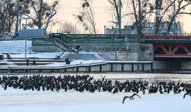 Kormorany w Szczecinie. Wyglądają beztrosko, ale grozi im śmierć głodowa