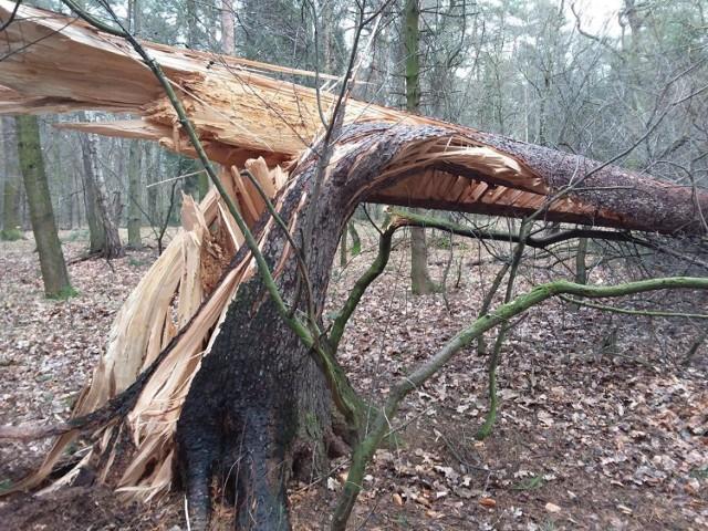 Lasy kobiórskie po marcowej wichurze to obraz katastrofy. Nadleśnictwo ostrzega przed wchodzeniem do lasu.