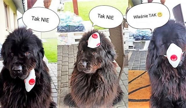 Pies policjanta z Żor uczy, jak prawidłowo zakładać maseczki ochronne.