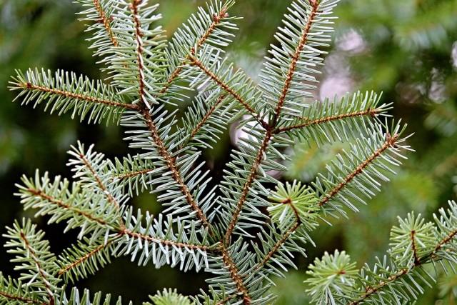 Udzielanych odpowiedzi jest dużo, więc talon na świąteczne drzewko dostaje tylko 6 pierwszych osób