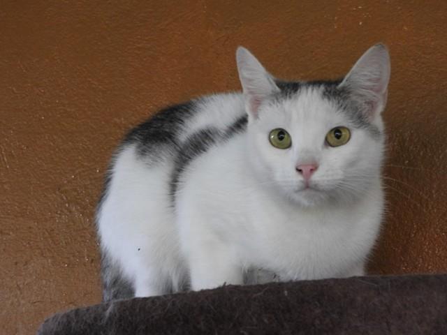 Bianka (134) to młoda kotka o biało-czarnym umaszczeniu. Na zdjęciach sprawia wrażenie przestraszonej, ale dosyć szybko przyzwyczaja się do nowych osób i szuka z nimi kontaktu.   Zdecydowanie widać, że w schronisku czuje się niezbyt dobrze i na pewno szybciej otworzy się na świat w warunkach domowych. Kiedy już przekona się do człowieka to najbardziej lubi spędzać czas na kolanach. Pomruki radości, jakie wydaje pokazują, że w takich sytuacjach czuje się najszczęśliwsza.   Kontakt: 513 151 079. Przebywa w schronisku w Jeleniej Górze.