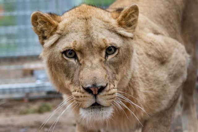 Kizia i Leoś to mieszkańcy zoo od 2017 roku. Jednak dopiero teraz można ich zobaczyć na wybiegu. Dla zwierząt ocalałych, pochodzących z cyrku, niewoli powstał specjalny azyl, który można odwiedzać. Dziś zwierzęta są już bezpieczne. Zobacz jak w ciągu dwóch lat zmieniły się Kizia i Leoś. Ze słodkich kociaków wyrosły piękne drapieżniki.