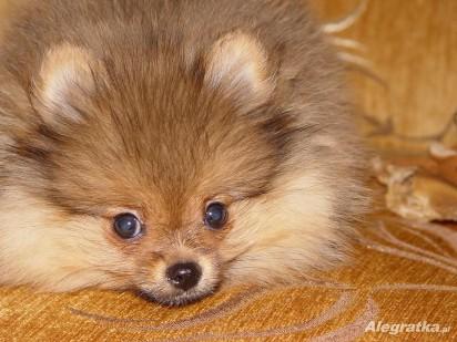 Niesamowite Pies Boo [CENA] Ile kosztuje szpic miniaturowy pomeranian HI93
