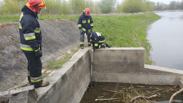 Strażacy wyciągnęli bobra i przenieśli do głównego nurtu rzeki