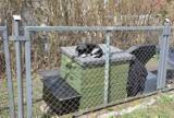 Koty na cmentarzu w Pruszczu. Leżą na pomnikach, sikają w rabaty. Czy to dobre miejsce - pyta Czytelnik