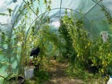 LESZNO. Policja zatrzymała mężczyznę, który w szklarni razem z pomidorami uprawiał... marihuanę. To nie jedyne jego przewinienie [ZDJĘCIA]