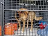 W Tupadłach na ul. Rolnej znaleziono błakającego się psa. Kto rozpoznaje zwierzaka i może pomóc SM Władysławo?   ZDJĘCIA
