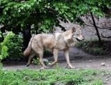 Leśniczy spotkał wilka w pobliżu Miodar (WIDEO)