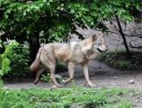 Wilki na Podkarpaciu zagryzają psy. Czy mogą posunąć się dalej?